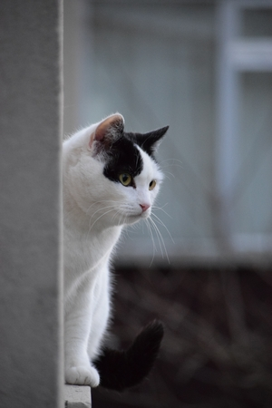 A curious and wary black and white cat Stock Photo - 86356355