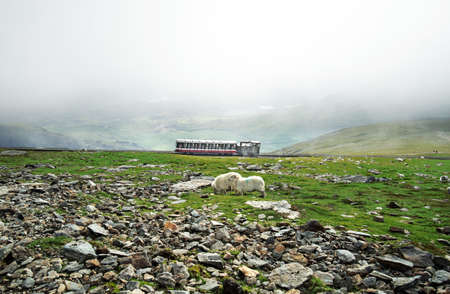Tourists in the snowdon train and sheeps eating grass on Snowdonia mountain, Wales, United Kingdom in July 2018