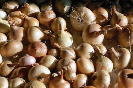 pealing: Group of onions drying in dark place befor winter Stock Photo