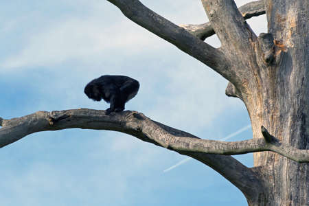 Silhouette of the monkey on branch of the tree  photo