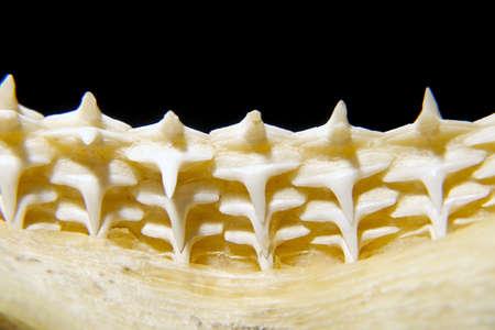 shark teeth: un primer plano de los dientes de tibur�n