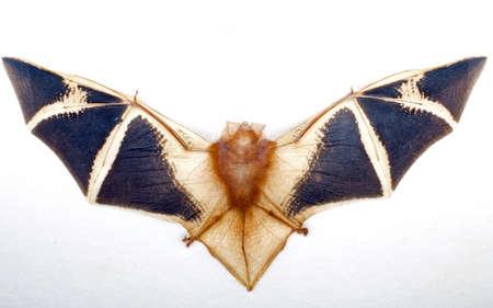 animal vein: Fruit Bat on white background
