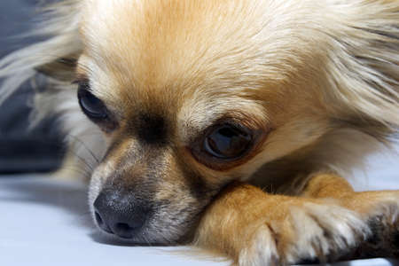 long haired chihuahua: Tired Dog Long Haired  Chihuahua resting at home Stock Photo