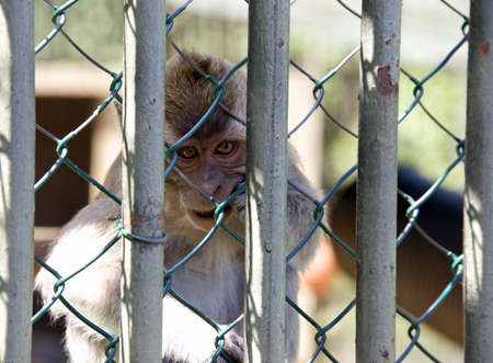 requires: Monkey behind a lattice. The unfortunate animal requires freedom.