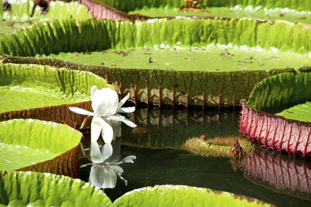 nenuphar: Water-lily, Nenuphar, Vitoria regia, one of the most beautiful plants of the Tropic