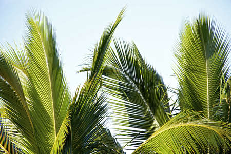 Leaves of palm tree isolated aganst light blue sky photo