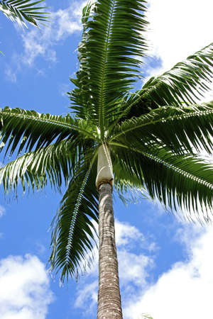 dyllic: cocnut palm against sky, tropical island