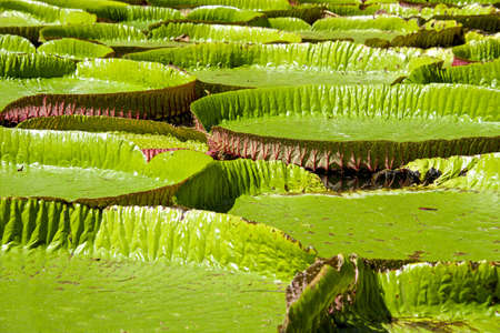 nenuphar: Gigant Water-lily, Nenuphar, Vitoria regia, one of the most beautiful plants of the Tropic