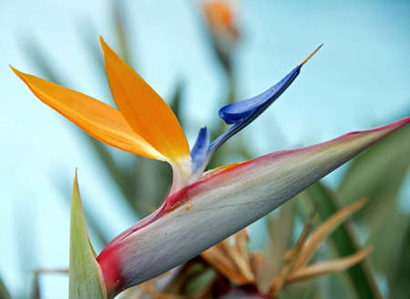 Closeup of a Bird of Paradise flower isolated on blue background photo