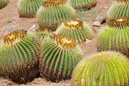 character traits: Closeup of golden barrel cactuses (Echinocactus Grusonii) Stock Photo