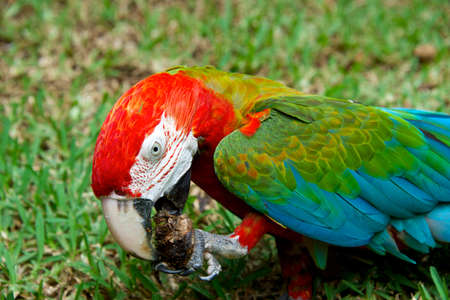 Exotic colorful African macaw parrot, beautiful close up on bird face over natural green background, wildlife Фото со стока