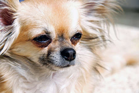 long hair chihuahua: Longhaired Chihuahua Puppy, pretty dog Stock Photo
