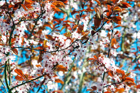 A branches of cherry blossoms in spring. Фото со стока
