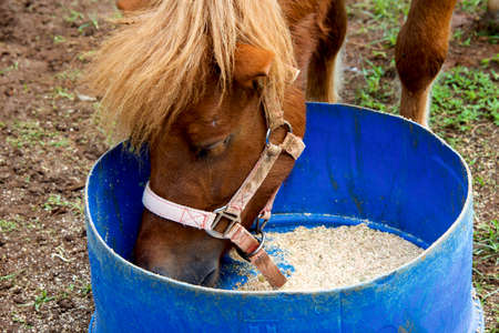 caballo bebe: Close up of horse eating from bucket Foto de archivo