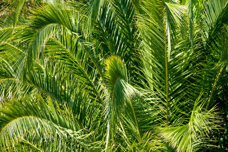 Lush green palm leaves in tropical forest as background