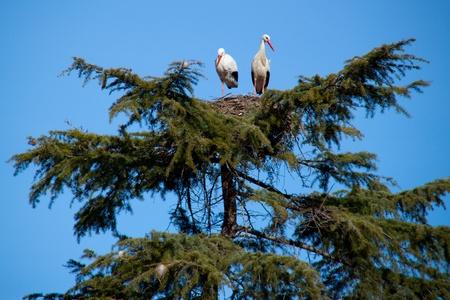 Storks in nest  photo