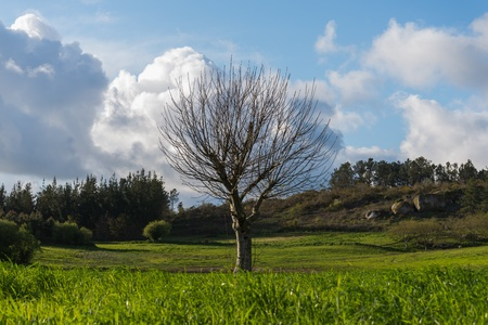 leafless tree growing in a green Galician field  Stock Photo