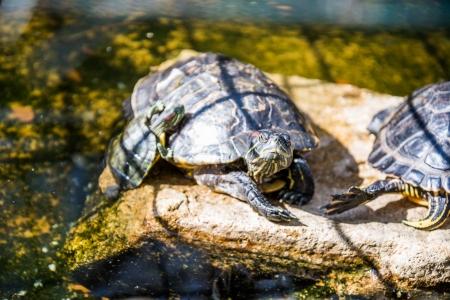 żółw czerwonolicy Zdjęcie Seryjne