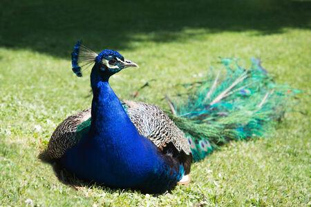 Peacock siedzi na trawie