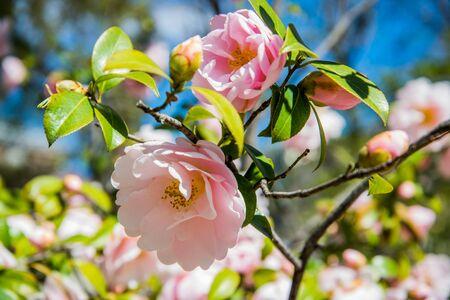 Camellia williamsii.