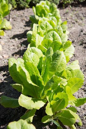 Roman lettuce plantation.