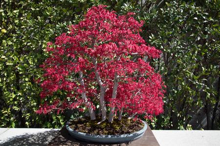 Japoński bonsai acer. Zdjęcie Seryjne