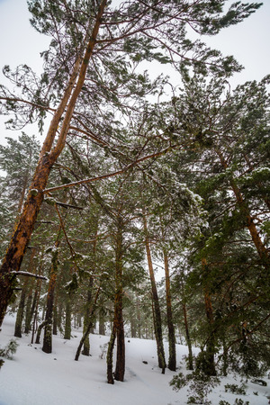 snowcapped mountain: Snowy forest in Madrid mountains.Snowy forest during a snow storm in Madrid mountains. Stock Photo