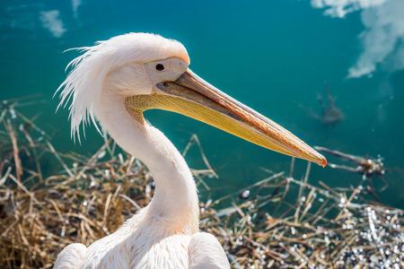 Pelican closeup. Zdjęcie Seryjne
