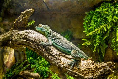 Little green iguana. photo