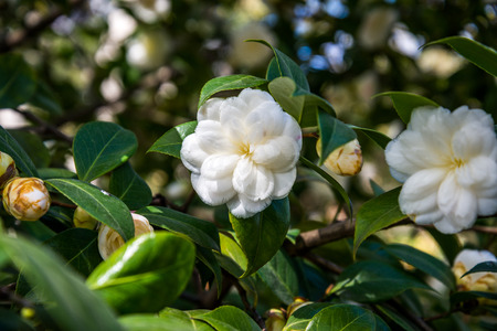 camellia japonica: Camellia Japonica.