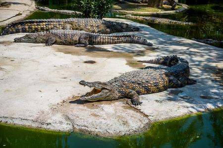 Crocodiles fighting for food in park. Zdjęcie Seryjne
