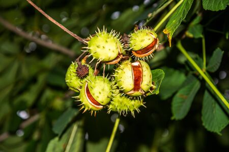 Horse-chestnut or conker tree seeds. Zdjęcie Seryjne