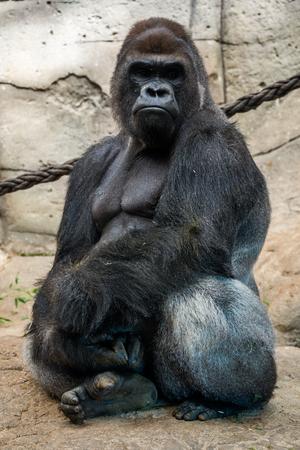 silverback: Male gorilla. Stock Photo