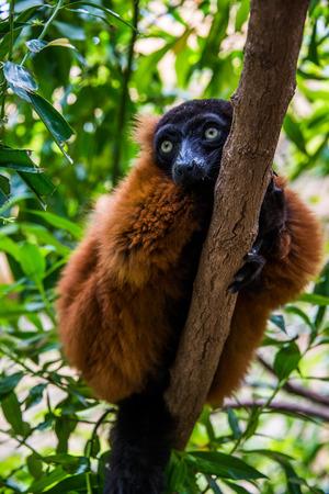 zoo animal: Red Ruffed Lemur