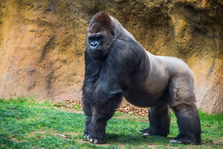 Male gorilla. Stock Photo
