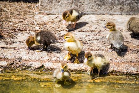 ducklings: Ducklings.