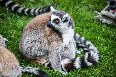 zoo animal: Ring-tailed lemur.