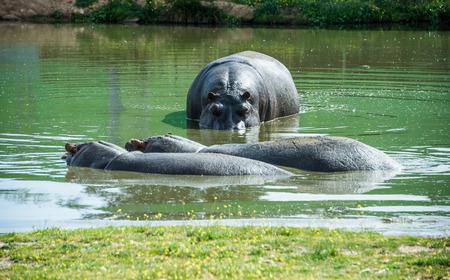 zoo animal: Hippopotamuses in the water. Stock Photo