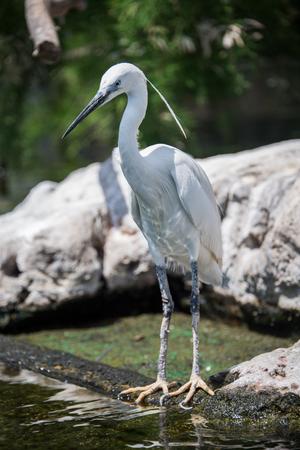 egrets: Common egret. Stock Photo