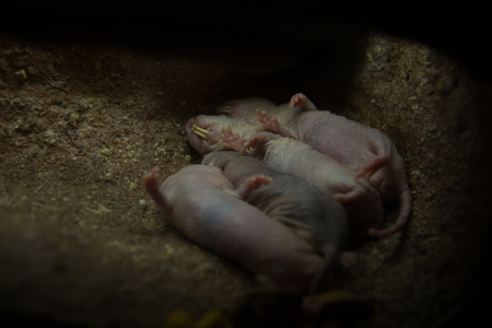 Zwerfvuil van Afrikaanse naakte molrat.