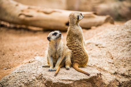 zoo animal: Meerkats guard.