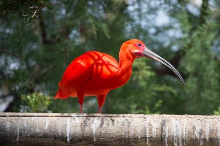 animaux zoo: Scarlet ibis.