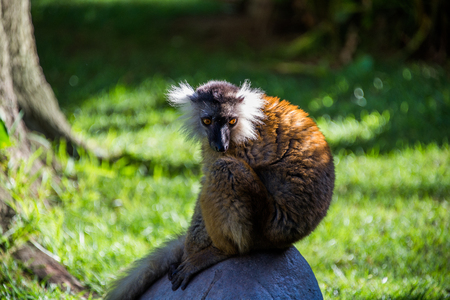 Lemur Red Ruffed