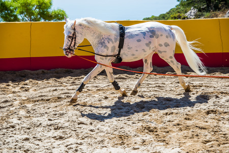 pure breed: Thoroughbred spanish horse