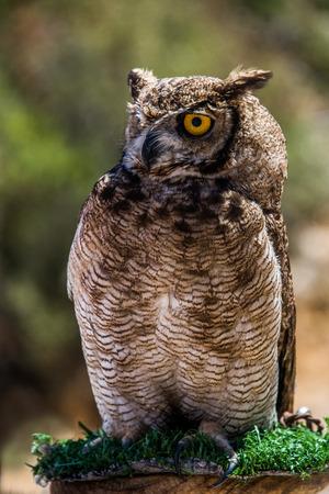 owl Bubo bubo Stock Photo