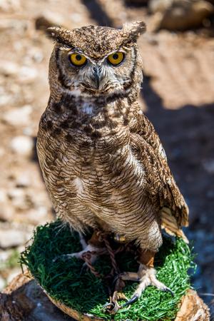 owl Bubo bubo Standard-Bild