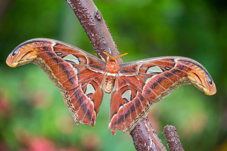 atlas: Attacus atlas