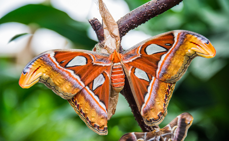 Attacus atlas butterfly
