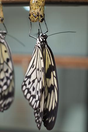 idea leuconoe butterfly being born