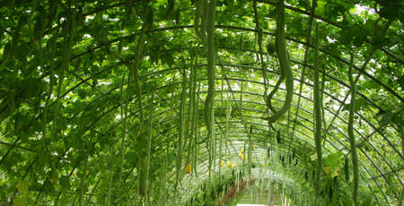 a lot of green snake gourd hanging on wire roof photo